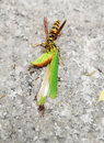 A wasp and ants eating grasshopper Royalty Free Stock Photo