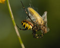 Wasp, Argiope bruennichi Stock Photography