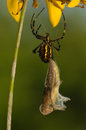 Wasp, Argiope bruennichi Stock Photo