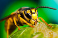 Wasp eating honey Royalty Free Stock Photo