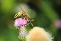 Wasp on a flower Royalty Free Stock Photo