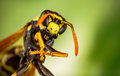 Wasp head Macro Shot Royalty Free Stock Photo