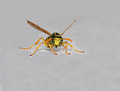 Wasp isolated on white portrait of clear background Stock Images