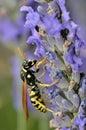 Wasp on lavender flower