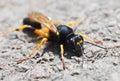 Wasp Macro