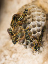 Wasp nest Royalty Free Stock Image