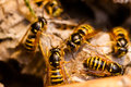 Wasp in the nest Stock Images