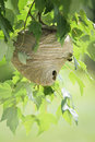 Wasp nest in tree hanging from branch with leaves Stock Photo