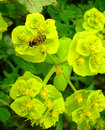 Wasp på yellowgreen blomma Royaltyfri Bild