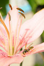 Wasp on pink lily flower