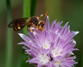Wasp on puple flower a with strange yellow eyes feeding a purple Royalty Free Stock Photo