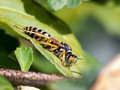 Wasp resting on a leaf in meadow Stock Image