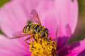 Wasp resting on pink flower Royalty Free Stock Photo