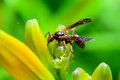 Wasp sitting on day lily stalk Royalty Free Stock Photo