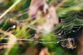 Wasp Spider Royalty Free Stock Photography