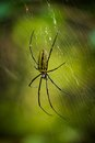 Wasp spider argiope bruennichi net over green blurred background Stock Photo