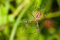 Wasp spider Argiope bruennichi. orb-web Insect with yellow stripes, web pattern. green grass background, macro view Royalty Free Stock Photo