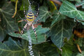 Wasp spider argiope bruennichi waiting for preys in its web with yellow and black stripes on abdomen a ivy bush Stock Photo