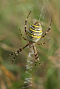 Wasp spider argiope bruennichii is waiting Stock Photo