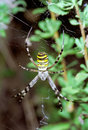 Wasp Spider hanging on web. Argiope bruennichi Royalty Free Stock Photo