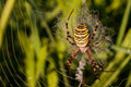 Wasp spider picture of a or zebra in his net the picture was taken in northern franconia germany Stock Image