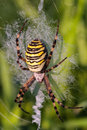 Wasp spider picture of a or zebra in his net the picture was taken in northern franconia germany Stock Photo