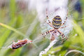 Wasp spider with prey macro picture of a in its net a grasshopper as taken in northern bavaria germany Royalty Free Stock Image