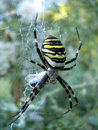 Wasp spider on web waiting Stock Photo