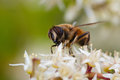 Wasp on sweetspire flower. Royalty Free Stock Photo
