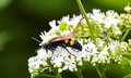 Wasp on top a white flower of sambucus in my garden Stock Photo