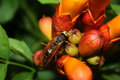 Wasp on Trumpet Vine Royalty Free Stock Photo