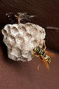 Wasp, Wasp Nest and Eggs Royalty Free Stock Photo