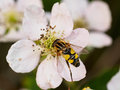 Wasp on white flower closeup