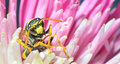 Wasp yellow jacket is collecting pollen and nectar from flowers Stock Image