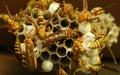 Wasps Royalty Free Stock Photo