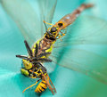 Wasps eating a dragonfly II Royalty Free Stock Photos