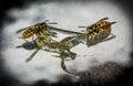 Wasps feeding on a honey drop Royalty Free Stock Photography