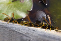 Wasps group drinking water from a pond Royalty Free Stock Photo