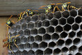 Wasps in the nest a close up of Royalty Free Stock Photo