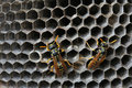 Wasps in the nest a close up of Royalty Free Stock Photography