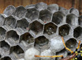 Wasps nest with larva Royalty Free Stock Photo