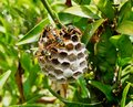 Wasps Tending Nest With Maturing Larvae Visible in One Open Cell