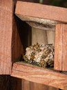 Wasps Working on Their Nest Royalty Free Stock Photo