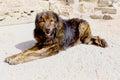 Watchdog estrela mountain also known as serra estrela shepherd dog Stock Image