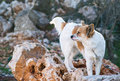 Watchdog the white ginger on the chain is waiting for the good news among the rocks Stock Images