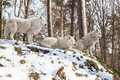 Watchful arctic wolf pack three animals hill winter forest standing sitting lying Stock Photos