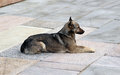 Watchful brown dog lying on the stone slabs guarding territory Stock Images