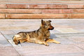 Watchful brown dog lying on the stone slabs guarding territory Stock Photos