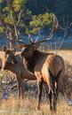 Watchful elk defending herd this is a picture of a the at rocky mountain national park Royalty Free Stock Photo
