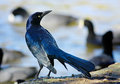Watchful eye a large male broad tailed grackle keep a out for danger Stock Images
